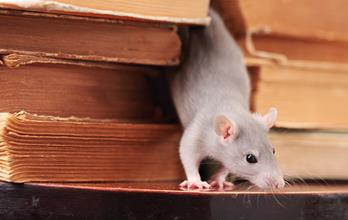 rat  in library,focus on a head