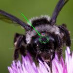 ocelos-ojos-simples-insectos