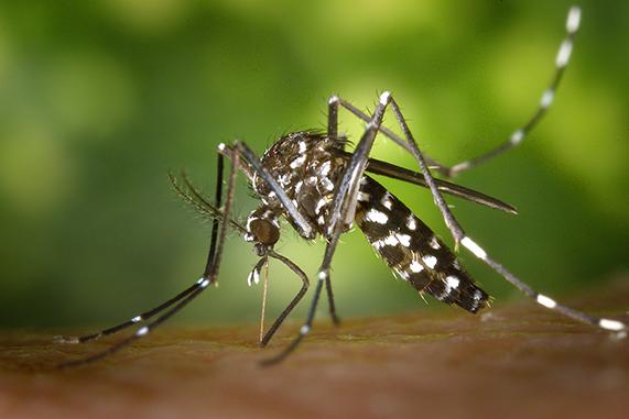 Chikungunya mosquito tigre