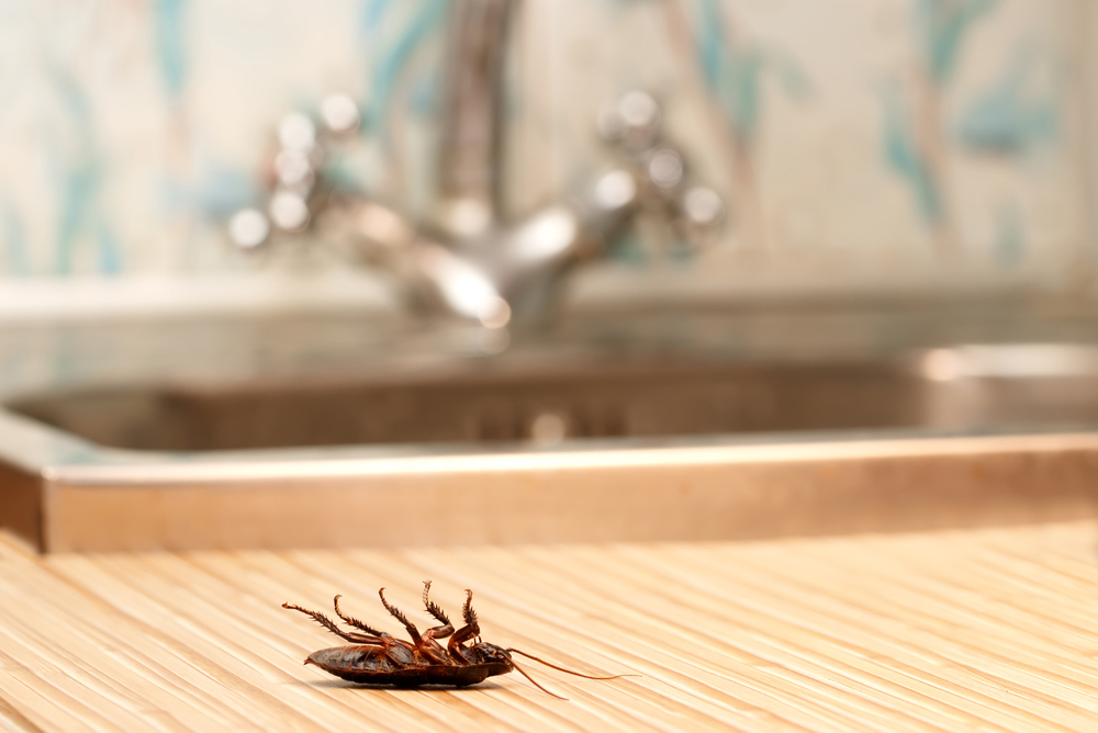 Una cucaracha muerta después de usar Splash Trampa Cucarachas