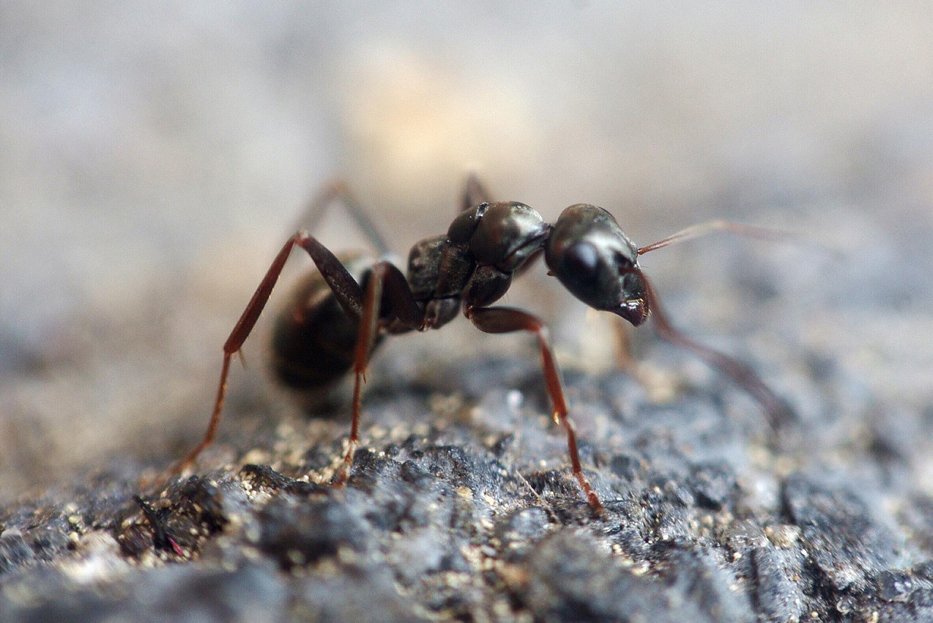 Cómo evitar hormigas en casa