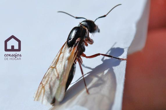 Cómo eliminar hormigas voladoras